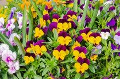 Wi?zka colourful ogrodowi pansies, tak?e zna? jako alt?wki obrazy royalty free