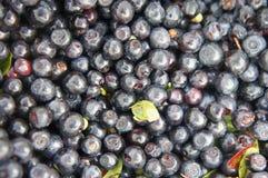 Wiązka czarne jagody Obrazy Stock