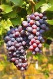 Wiązka czarni winogrona na winogradzie blisko Sangli, maharashtra Fotografia Royalty Free