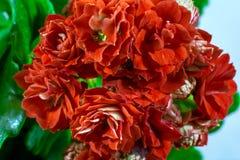 Wiązka czerwony kalanchoe Fotografia Stock