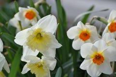 Wiązka daffodils Obraz Stock
