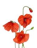 Wiązka dziki czerwony maczek kwitnie na bielu Zdjęcie Royalty Free