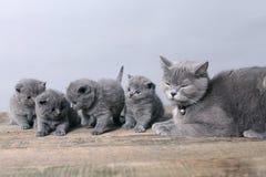 Wiązka figlarki, macierzysty kot z one Zdjęcia Stock