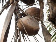 Wiązka koks na drzewie Zdjęcie Stock