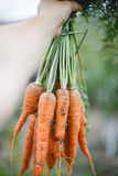 Wiązka marchewki w ogródzie Zdjęcie Stock