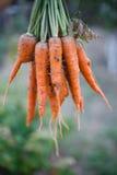 Wiązka marchewki w ogródzie Obraz Stock
