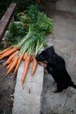Wiązka marchewki w ogródzie Fotografia Royalty Free