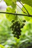 Wiązka niedojrzali zieleni winogrona w podeszczowych kroplach Zdjęcia Royalty Free