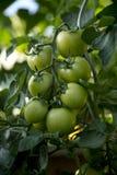 Wiązka pomidory - 02 Fotografia Royalty Free