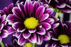 Wiązka purpury Kwitnie w ogródzie Obraz Royalty Free