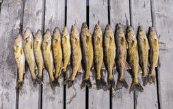 Wiązka Walleye na doku Fotografia Stock