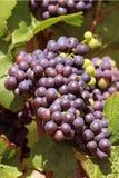 Wiązka winogrona Zdjęcie Royalty Free
