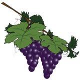 Wiązka winogrona Obrazy Stock
