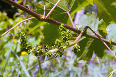 Wiązka winogrona Fotografia Stock