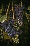Wiązka winogrona Zdjęcia Stock