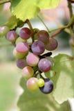 Wiązka winogrona na drzewie w Gelendzhik Zdjęcie Royalty Free