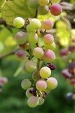 Wiązka winogrona na drzewie w Gelendzhik Zdjęcia Royalty Free