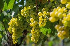 Wiązka winogrona na winogradzie Obraz Stock