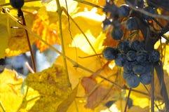Wiązka winogrona na winogradzie Fotografia Royalty Free