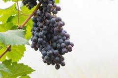 Wiązka winogrona na winogradzie Obrazy Stock
