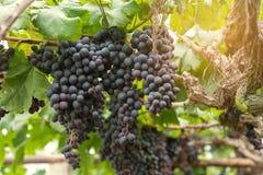 Wiązka winogrona na winogradzie Zdjęcia Stock