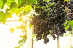 Wiązka winogrona na winogradzie Zdjęcie Stock