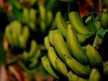 Wiązka Zielony Banan Zdjęcia Stock
