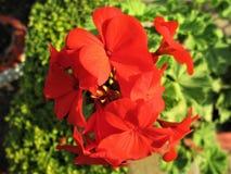 Wiązki czerwieni kwiaty Fotografia Royalty Free