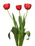 wiązki czerwieni trzy tulipan Obraz Stock