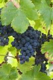 Wiązki czerwoni winogrona na winogradzie Zdjęcia Royalty Free