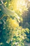 Wi?zki dojrzali soczy?ci winogrona wieszaj? na zielonym winnicy winogradzie Vertical rama zdjęcie royalty free