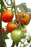 wiązki dojrzenia pomidory Obrazy Royalty Free