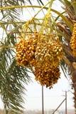 Wiązki unripened daty na Daktylowej palmie W DUBAJ, UAE na 26 2017 CZERWU Obraz Royalty Free