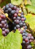 wiązki winogron czerwieni winograd Zdjęcia Royalty Free