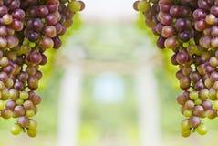 wiązki winogron target1940_1_ Zdjęcie Stock