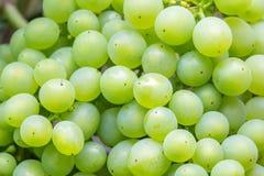 wiązki winogron zielony ilustracyjny realistyczny wektor Zdjęcie Royalty Free