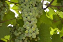 wiązki winogron zielony ilustracyjny realistyczny wektor Zdjęcia Royalty Free