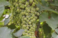 wiązki winogron zielony ilustracyjny realistyczny wektor Fotografia Royalty Free