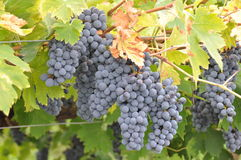 Wiązki winogrona Fotografia Stock