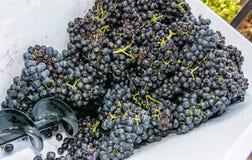 Wiązki winogrona w winograd prasie, rocznika temat obraz stock
