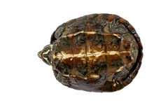 Żółwia żółw do góry nogami, próbujący obracać Obraz Royalty Free