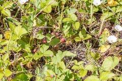 wiadra krzaków truskawka dzika Zdjęcia Royalty Free
