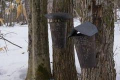 Wiadra na klonowych drzewach obrazy stock