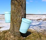 Wiadra zbiera aproszy obwieszenie od bagażnika Klonowy drzewo obrazy royalty free