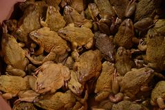 Wiadro żaby dla sprzedaży zdjęcia stock