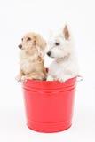 Wiadro i psy zdjęcie royalty free