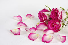 wiadro róże Fotografia Stock