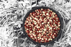 Wiadro zbierać dzikie truskawki w lesie w polach Rosja i Zdjęcia Stock