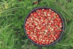 Wiadro zbierać dzikie truskawki w lesie w polach Rosja i Obraz Stock