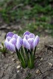 ?wiat?o - purpurowi krokusy w ziemi pierwszy wiosenny kwiat zdjęcia stock